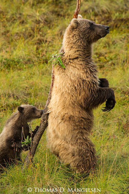 A grizzly bear cub investigates a tree while its mother stands to scratch her back in Denali National Park, Alaska.
