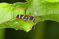Gemeiner Widderbock, Echter Widderbock, Wespenbock, Kleiner Wespenbock, Wespenartige Färbung als Warnung, Tarnung, Mimikry, Widder-Bock, Clytus arietis, wasp beetle, mimicry, wasp-mimicking
