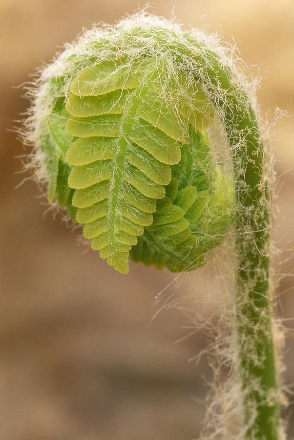 Cinnamon fern fiddlehead (Osmunda cinnamomea), Danby, Green Mountains National Forest, Vermont