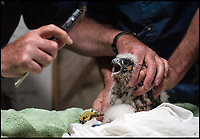 BNPS.co.uk (01202 558833)<br /> Pic: TomWren/BNPS<br /> <br /> Orphan chick, Wylye, gets a check over after being ringed.<br /> <br /> An orphaned peregrine falcon chick whose parents were deliberately poisoned has been tagged as it prepares to leave its adopted nest.<br /> <br /> The young bird was rescued from its nest by experts after its parents were found dead on the ground.<br /> <br /> It was placed into a nest with another chick of similar age in the tower of Salisbury Cathedral, Wilts, and reared by its adopted mother.<br /> <br /> Phil Shelldrake, of the RSPB, has ringed the chick so they can monitor it in the future before it flies the nest.