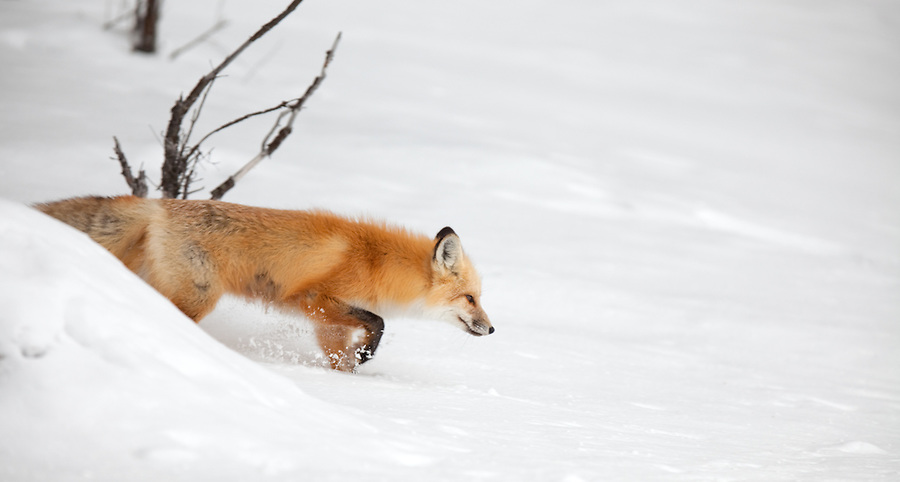 An individual red fox steps carefully through the snow searching for prey in during the winter in Yellowstone National Park.
