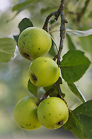 Europe/France/Normandie/Basse-Normandie/50/Batenton: Maison de la Pomme et de la Poire - Dans le verger  - Pommes à Cidre:  Variété Belle FIlle - Verger Conservatoire de Barenton  //  France, Manche, Batenton, House of the Apple and Pear, in the orchard Apples Cider Variety beautiful girl, Orchard Conservatory Barenton