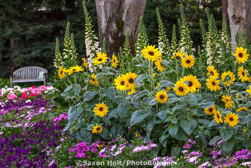 Sunfinity sunflowers in demonstration garden - Syngenta Flowers