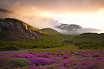 Mist over Portage Valley at sunrise. Fireweed flowers in foreground. Chugach National Forest, Kenai Peninsula, Southcentral Alaska, Summer.