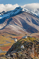 Dall sheep rams rest on a mountain ridge in Polychrome Pass, autumn colors in the distance, flanked by the Alaska Range mountains, Denali National Park, Alaska.