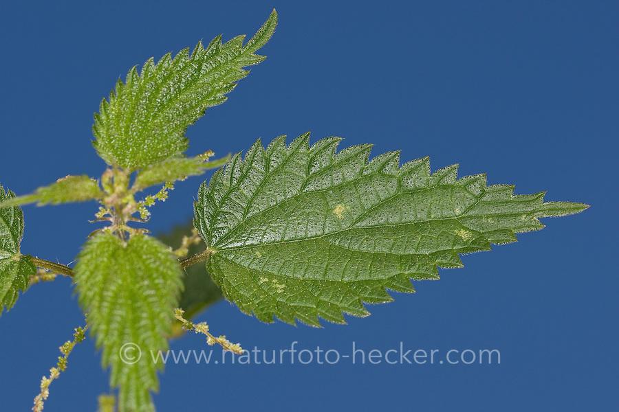 Große Brennnessel, Brennessel, Blatt, Blattoberseite, Urtica dioica, Stinging Nettle