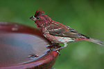 Purple finch perched on a bird bath