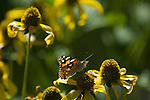 butterfly, tall coneflower, Rudbeckia, wildflower, summer, morning, Rocky Mountain National Park, Colorado, USA