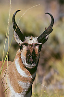 Pronghorn antelope buck (Antilocapra americana), Western U.S.