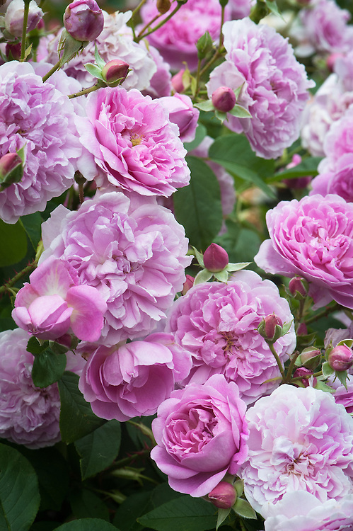 """Rosa Harlow Carr ('Aushouse'), late June. A a fragrant, bushy shrub rose with bronze young foliage, and """"old rose"""" style fully double rose-pink flowers. From David Austin, 2004."""