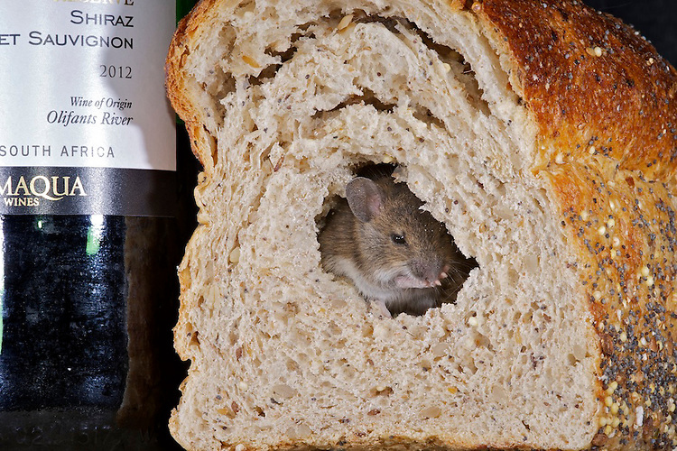 A Wood mouse enjoying a meal of stale bread