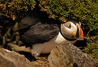 Atlantic Puffin (Fratercula arctica) in breeding plumage, July, emerges from burrow. These North Atlantic seabirds come to land every year for about 4 months to breed and raise their young on grassy cliffs and offshore islands, here along the eastern coast of Newfoundland, Canada.