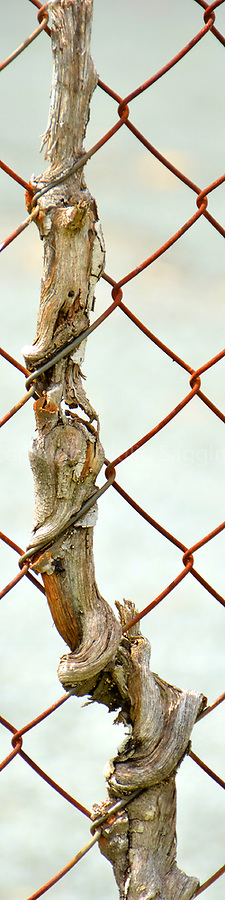 A branch is intertwined in a fence at Alderley.