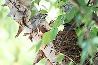 Stock photo: American Robin bird sitting cozily in her nest on a tree.