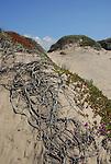 Dunes at Pescadero State Beach