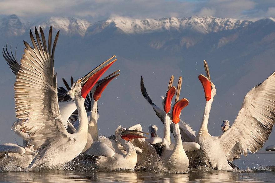 Dalmatian Pelican (Pelecanus crispus) at the Lake Kerkini, Macedonia, Greece. February 2009<br /> Mission: Dalmatian Pelican<br /> &copy; Jari Peltomaki / Wild Wonders of Europe<br /> P.O.Box 42, FIN- 91901 LIMINKA, Finland <br /> mobile: +358-40-5919120<br /> email: jarimobile: +49 0170 937 57 89<br /> email: jari@finnature.fi<br /> www: www.finnature.fi, www.birdphoto.fi