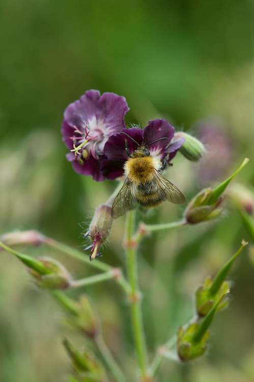 Bee on dusky cranesbill (Geranium phaeum 'Mourning Widow'), mid June.