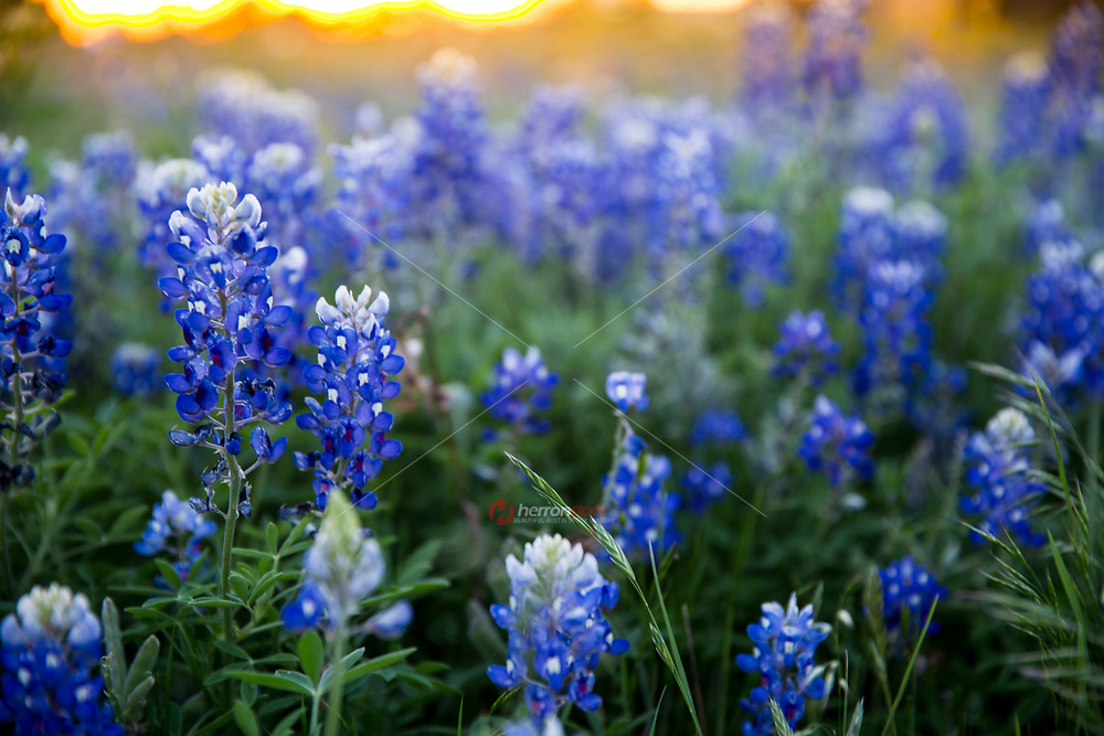Texas wildflowers - Closeup bluebonnets in spring, Texas Hill Country. The Texas Hill Country, west of Austin in south central Texas, is ablaze with wildflowers each spring, when Texas bluebonnets, primroses, Indian paintbrush, and many more charming varieties turn the landscape into ribbons of color. The blossoms usually start blooming around March. Peak season is March and April.