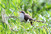 Yellow-billed cuckoo has found a web of worms- the trees best friend.