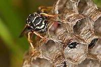 Heide-Feldwespe, Heidefeldwespe, Feldwespe, an ihrem Nest, Polistes nimpha, polistine wasp, Faltenwespe