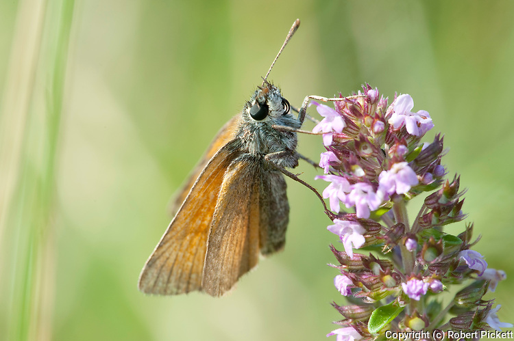 Small Skipper Butterfly, Thymelicus sylvestris, Poienile Narcise Brasov, Transylvania, Romania, feeding on flowers, showing probiscus