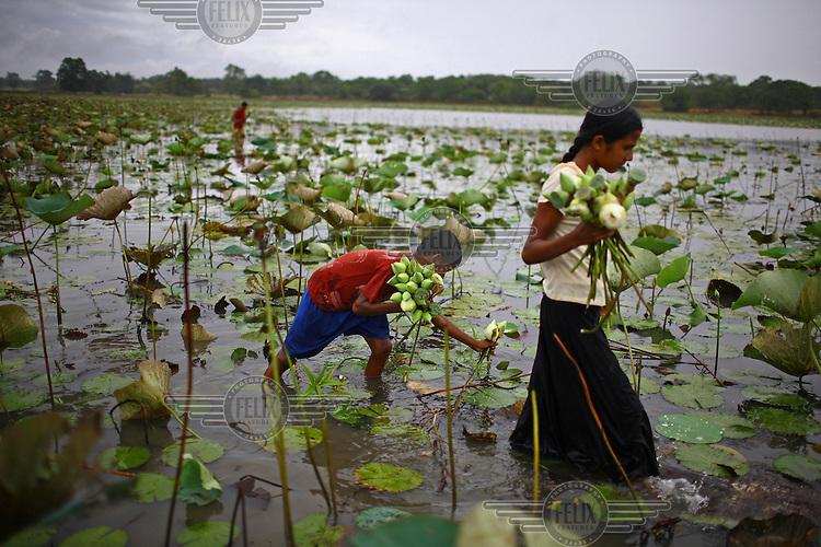 Children harvest lotus flowers in Galgamuwa.