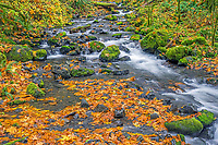ORCG_D212 - USA, Oregon, Columbia River Gorge National Scenic Area, Gorton Creek in autumn is bordered by colorful shrubs, fallen leaves of bigleaf maple and mossy rocks.