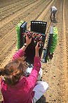 planting lettuce from automated machine