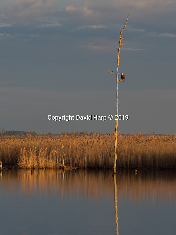 A dead tree, the result of rising sea level, provides a perch for a bald eagle at Blackwater National Wildlife Refuge