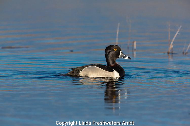 Ring-necked duck - drake