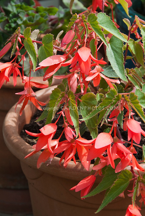 Salmon flowers of annual plant Begonia Million Kisses Romance