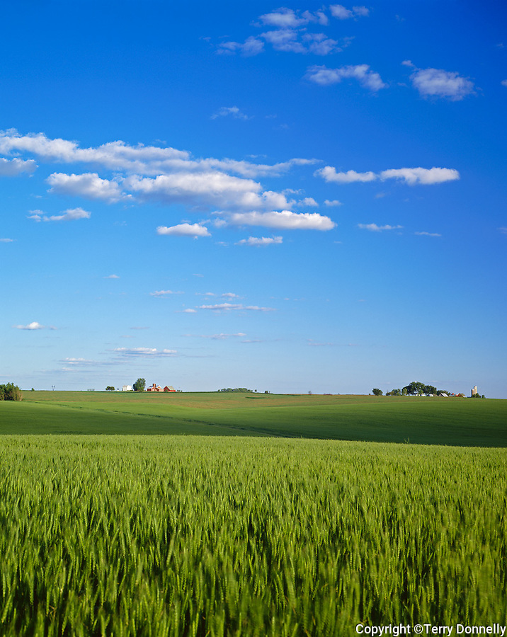 Ogle County, IL<br /> Summer clouds over wheat fields with farms on the distant horizon