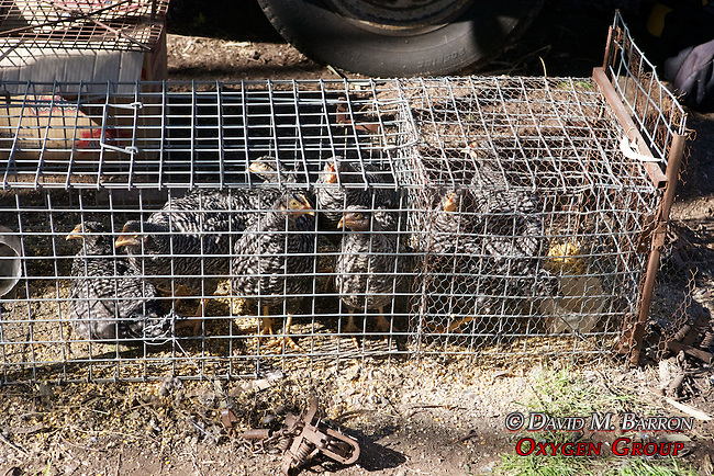 Chickens for Bait in Traps