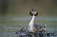 Great-crested Grebe, Podiceps cristatus, female on nest, Luzern, Switzerland, Europe