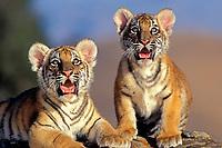 Bengal tiger, Panthera tigris tigris, cubs