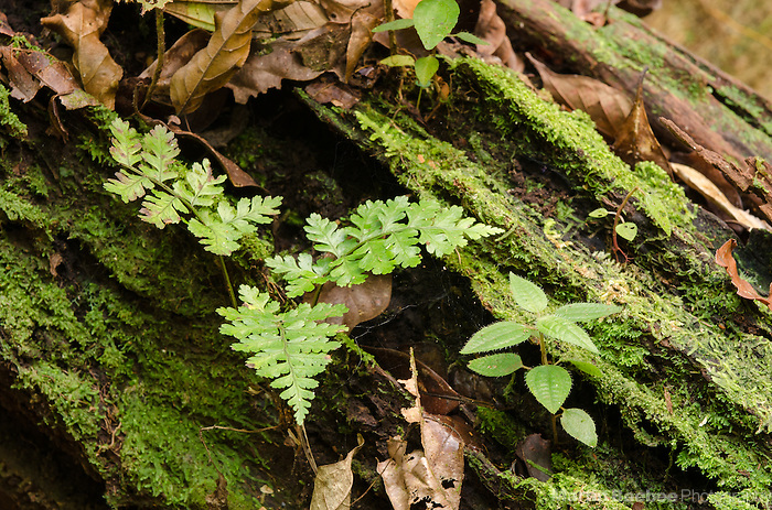 Small fern growing from a log, Boca Tapada, Costa Rica