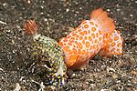 Cannibal nudibranch (Gymnodoris rubropapulosa) eating a chromodoris nudibranch (Hypselodoris obscura)
