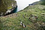 Atlantic Puffin (Fratercula arctica) group at coastal breeding colony, Skomer Island National Nature Reserve, Skomer Island, Pembrokeshire, Wales, United Kingdom
