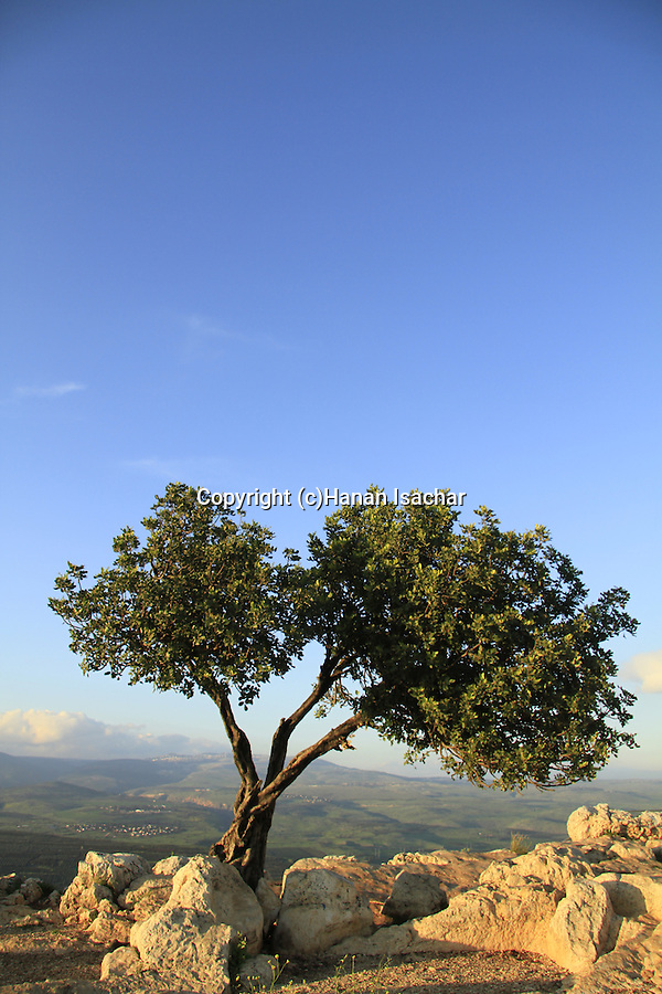 Israel, Lower Galilee, Carob tree at the top of Mount Arbel