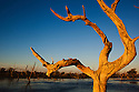 Australia, South Australia; dead trees in flooded Cooper Creek after heavy rains in Queensland