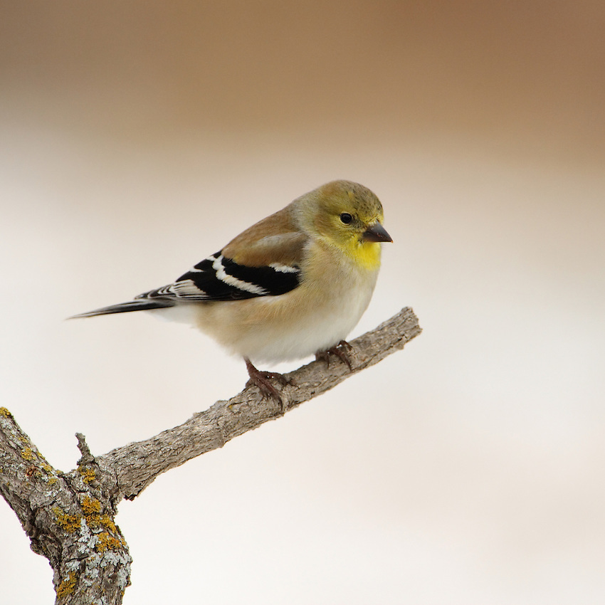 American Goldfinch in winter, snow background.
