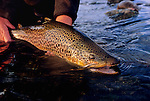 08191-D. Releasing a brown trout caught in the autumn on the South Fork of the Snake River, Idaho.