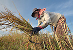 Mean Thorn, a woman in the Cambodian village of Somrith, works harvesting rice. She is a member of a community rice bank organized by the Community Health and Agricultural Development program of the Methodist Mission in Cambodia.