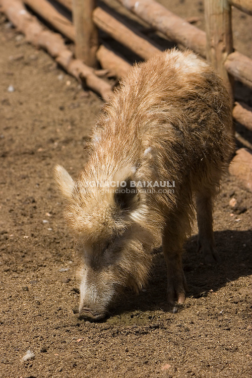 Jabalí FAUNA IBÉRICA (PARQUE DE LA NATURALEZA) - EL REBOLLAR - REQUENA, Valencia, España / Spain - 4/5/2008