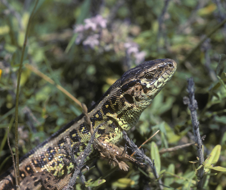 Sand Lizard Lacerta agilis Length 16-19cm Bulky lizard. Hibernates Sept-Mar. Females lay eggs. Sexes are dissimilar. Adult male has relatively large head. Ground colour of back is typically buffish brown but note three rows of white-centred dark spots along length of body. Head and flanks are flushed bright green in spring and summer. Adult female has smaller head and more bulky body than male. Ground colour is pale to rich brown with three longitudinal rows of eyespots. Juvenile recalls a small, slender adult female with eyespots on back and flanks. In Britain (where protected by law), restricted to heathland sites in Dorset and Surrey, and coastal sand dunes in Merseyside.