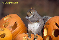 MA23-212z  Gray Squirrel - sitting on  carved Halloween pumpkin  - Sciurus carolinensis