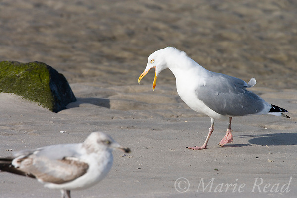 Herring Gull (Larus argentatus), adult in breeding plumage, calling, Barnegat Inlet, New Jersey, USA