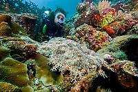 Scuba diver with Tasselled wobbegong, Eucrossorhinus dasypogon, dive site: Three systers, Farondi Island, Raja Ampat, West Papua, Indonesia, Indo-Pacific Ocean