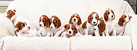 BNPS.co.uk (01202 558833)<br /> Pic: PhilYeomans/BNPS<br /> <br /> Perfect ten...<br /> <br /> Who would believe this adorable set of puppies belong to Britains's most endangered breed of dog.<br /> <br /> But this unusually large litter of ten healthy pups   offers fresh hope for Britain's most threatened native breed, the Red and White Setter.<br /> <br /> The alarming demise of the Irish breed has seen it plummet to the bottom of the Kennel Club's vulnerable breeds list for last year.<br /> <br /> In 2019 just 39 new puppies were registered, compared to 119 at the start of the decade.<br /> <br /> The numbers are tiny compared to the 35,347 Labradors - the UK's favourite dog - that were born last year. <br /> <br /> Now breeder Ve Callaghan from Melton Mowbray in Leicestershire is celebrating the arrival of a huge litter of ten pups that amazingly are rarer than Siberian Tigers, Amur Leopard's and even Giant Pandas.