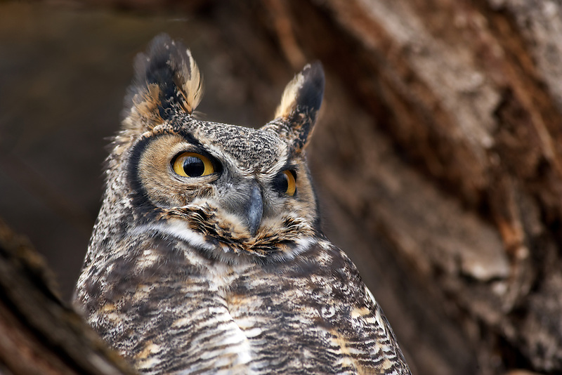 Great Horned Owl (Bubo virginianus) closeup. Near the Steens Mountain. Oregon